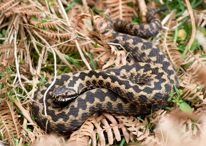 Also adders like to bask in the sun. Normally the adder (the only venomous snake native to the UK) is a timid and non-aggressive snake but  when provoked she injects a venom into its prey.