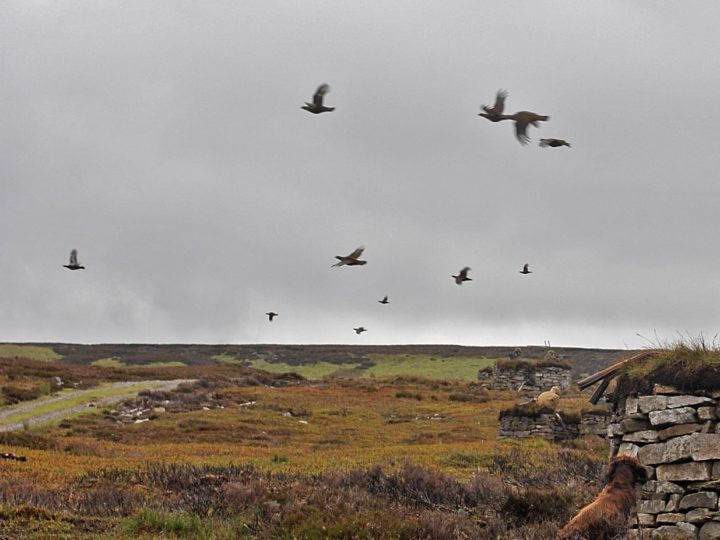 It is not easy for the guns to hit the grouse because they fly quite low in a curve and very fast.