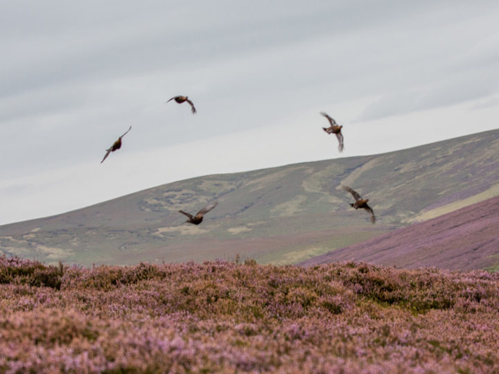 In this lovely countryside grouse have come along very well this year.
