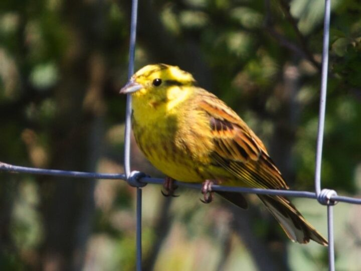 ...the yellowhammer and many more.