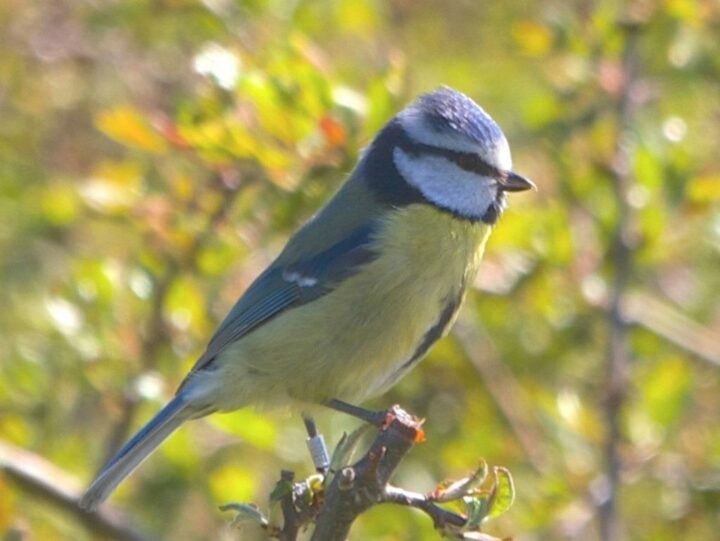 ...the blue tit and its varied song...