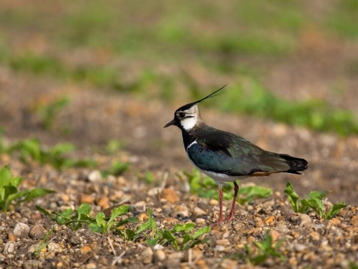 ...and the green feathers on top of the lapwing are really shiny,...