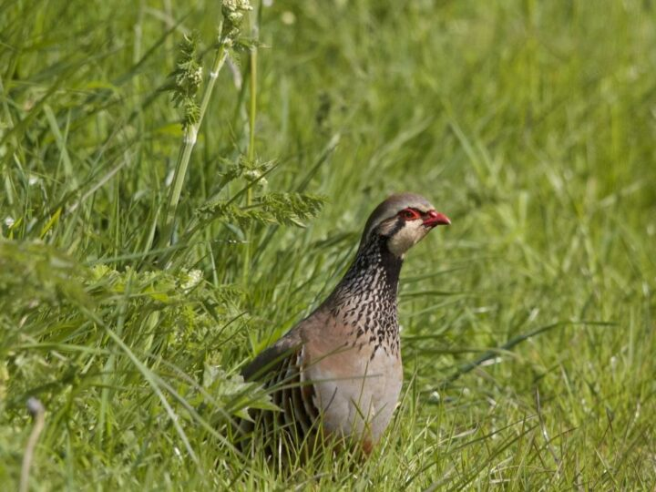 ...as well as the splendid spring coat of the partridge.