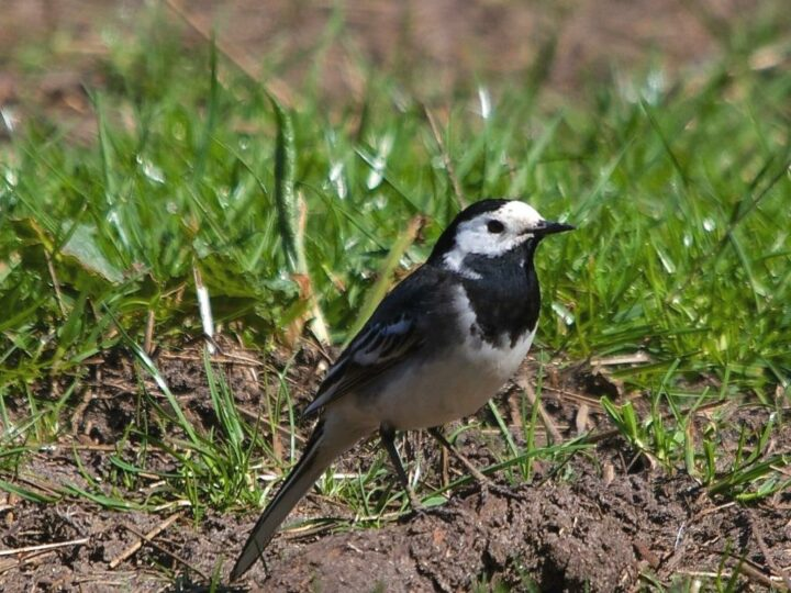 ...the twittering white wagtail,...