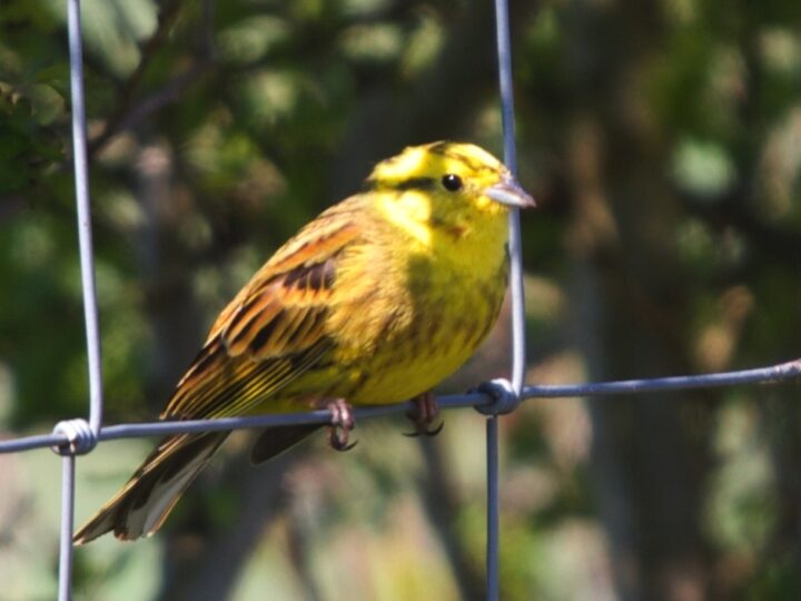 ...or the yellowhammer (here a male with his bright yellow head).