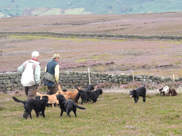 "Grouse picking-up at Bransdale 2019 - Daniel and his ""six pack"": Dido, Duffy, Zoe, Ziva, Fake and Flint!"