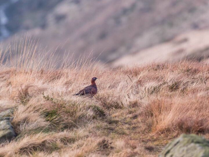Grouse - what a special bird.