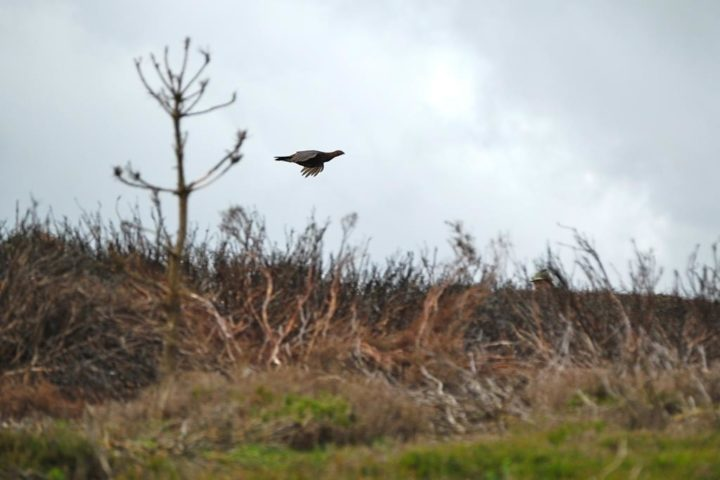 "The grouse - a bird that cannot be reared. By the way the grouse have a very special call like ""goback-goback-goback""!!"