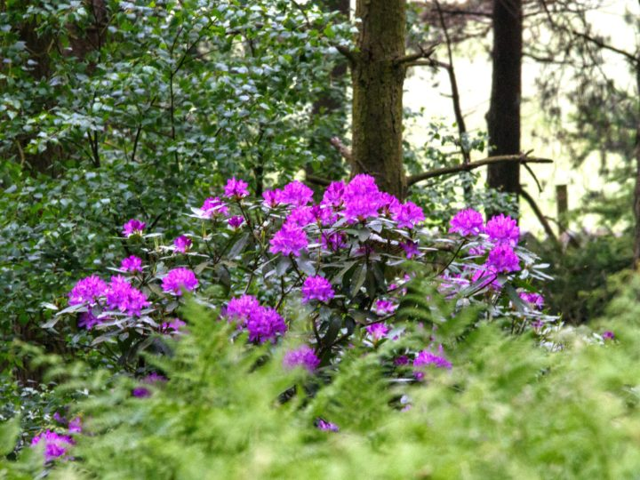 Beautiful rhododendrons...