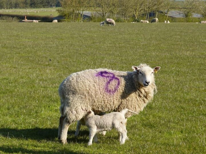 ...and the lambing season has started.