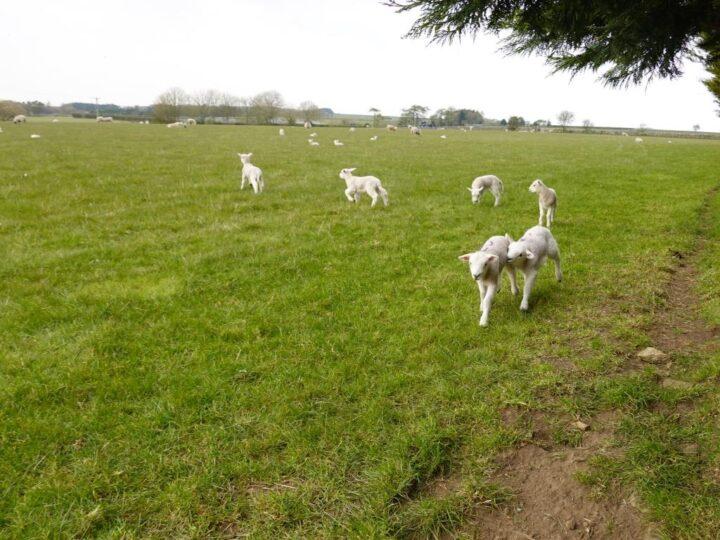 Lambs everywhere...