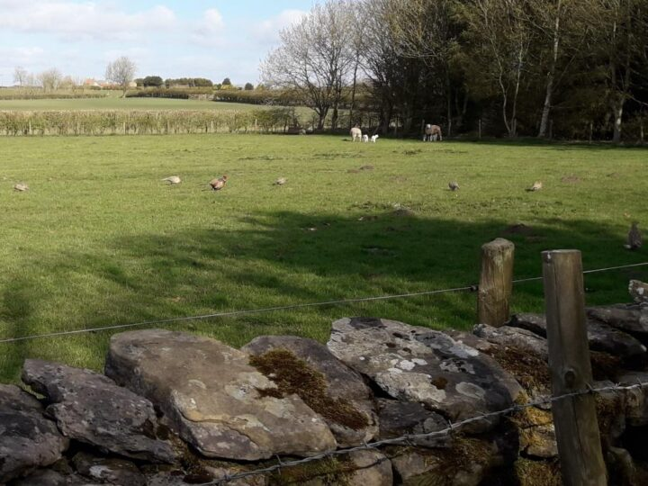 Sheep, lambs, rabbits and pheasants together - what a peaceful coexistence.