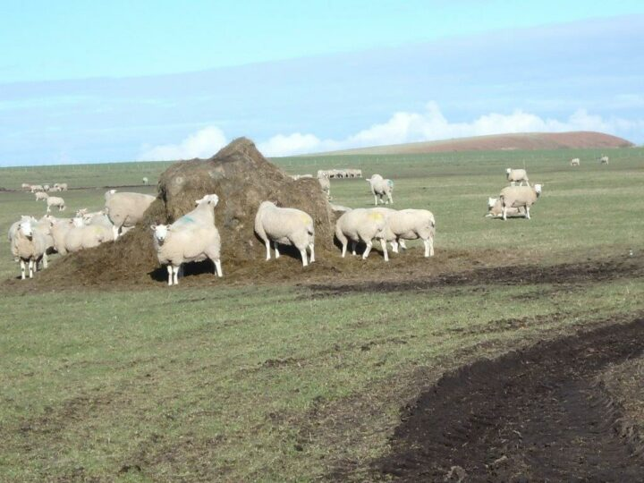 The sheep don't care about the muddy ground! As long as they get hay as supplement...