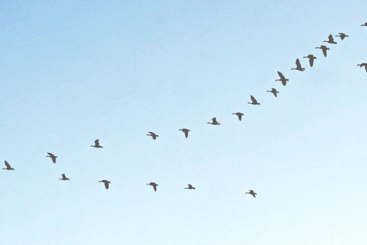 Talking about formation : The first geese already appear...