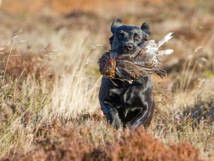 "...our dogs enjoy grouse picking-up in this cooler temperature:  <a href=""https://www.whitethorn.org/lockthorn-kennel/duffy"" target=""_blank"">...DUFFY...</a>"