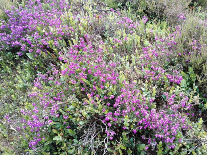 ...and in the moors some heather starts to bloom!