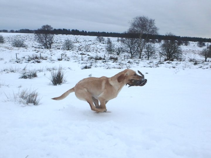 Winter was very wet and white; so not a lot of training. Experience for Fake: retrieving partridge in snow!