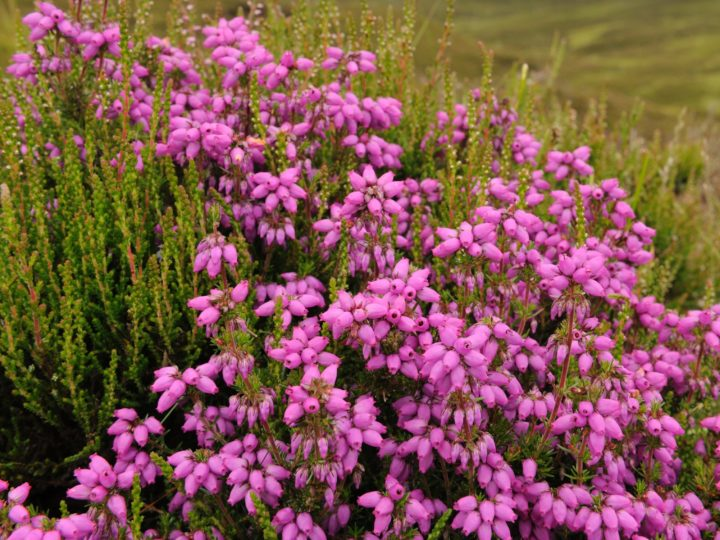 Bell heather occurs on drier ground...