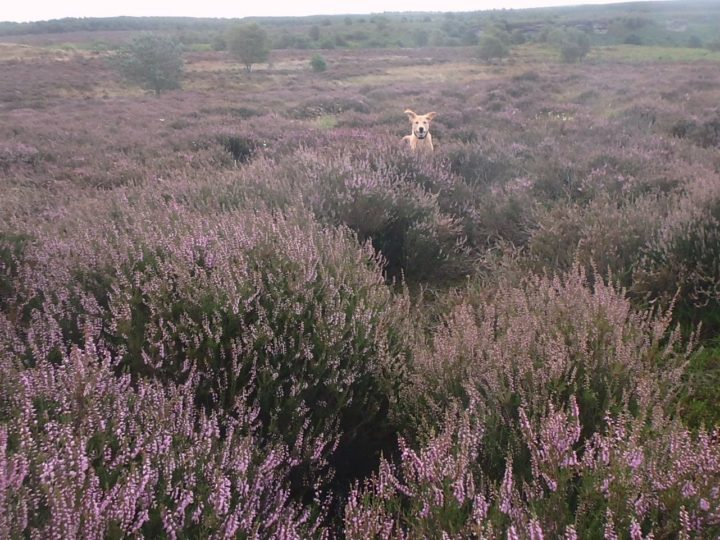 Blooming heather not only makes our hearts beat faster...
