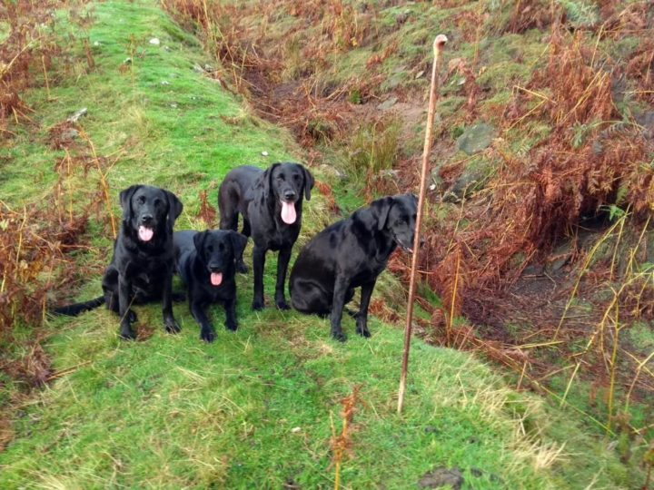 "Picking-up this year at Bransdale and Pennyholme ""only"" with 4 dogs - hard work, but they enjoy it!"