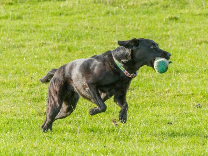 "Even if Duffy's sister <a href=""https://www.whitethorn.org/lockthorn-kennel/dido"" target=""_blank"">Dido</a> is our specialist on game she still retrieves a dummy happily."