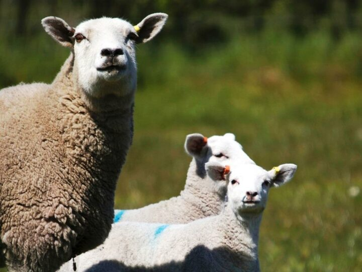 ...and this year it is perfect for the lambing season:...