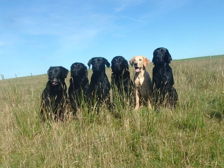 The new gang in July: Tara with her black daughters Dido, Ziva, Duffy, Zoe and her yellow granddaughter Fake.