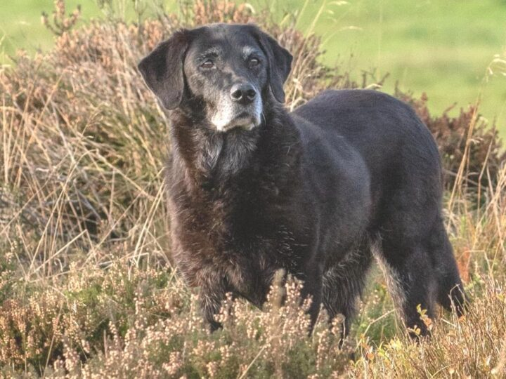 And suddenly (just a few days before her 14th birthday) she closes her eyes for ever at Whitethorn, the place where she was born. Dear Claudia, dear Christoph we sympathise with you. RIP unforgettable Temba (26.11.2005-13.11.2019)