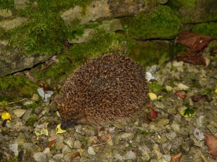 The hedgehog enjoys this golden autumn...