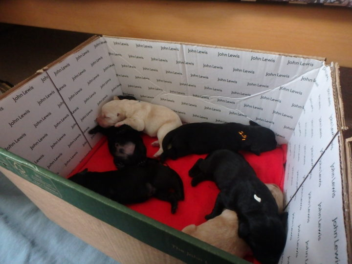 While Zoe is away  for a wee the puppies have to stay in a cardboard box where the floor is heated!