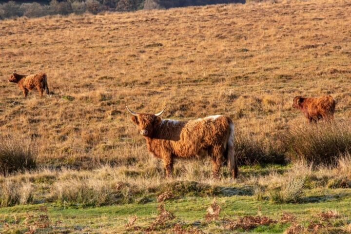 Although the highland cows have a very thick coat that protects them from all kinds of weather, they possibly enjoy the sunrays...