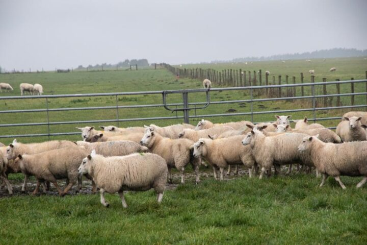 The sheep put up with all the mud...