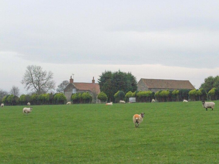 No lockdown at all for the sheep - mating season!