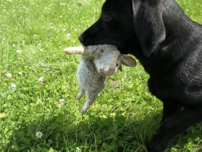 With 4 months Dido also retrieves a little rabbit as it would be the most natural thing in the world...