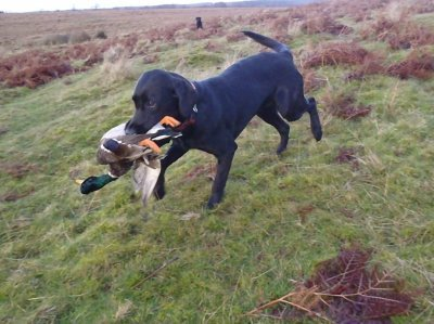 And because she retrieves quite nicely, Dido can prove, if she also can do it with a duck. Yes, she can!