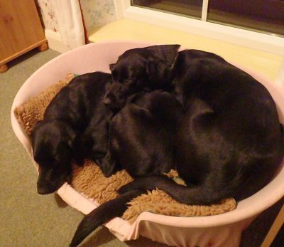 Aber in ihrem Verhalten sind die Beiden noch lange nicht erwachsen - mit 9 Monaten teilen sie immer noch den Hundekorb und sind auch sonst dauernd zusammen!