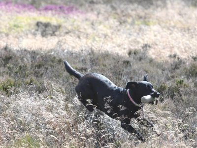 August 2015: Dido is prepared for the picking-up on grouse!