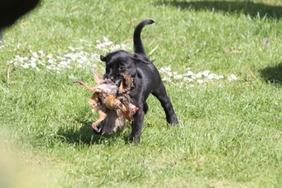 ...and as all other pups in this litter she carries already a partridge with 8 weeks (that already has been carried around several times by her litter brothers!!)!