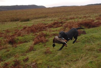 "And because she retrieves quite nicely, we try with a duck. And ""hey presto"" - if it goes fast it works!"