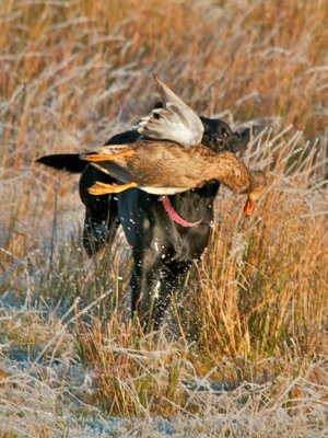 Shooting season 2012/13: Duffy is now coming with us and as she is steady she is also allowed to retrieve sometimes - here a duck!