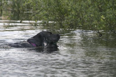 Duffy works in 2014 as you expect a gundog to do: she retrieves dummies from water (no ducks for this time of the year!)...