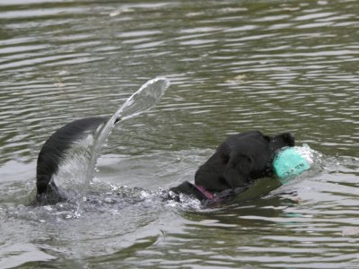 Watertraining during spring 2015: Even in water Duffy is wagging her tail!
