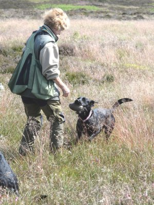 August 2015: Duffy is fit and ready for the picking-up on grouse!
