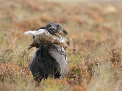 Grouse-shooting starts on the 12th of August (the glorious 12th) - and Duffy is very strong going picking up on the moors (up to three times a week)!