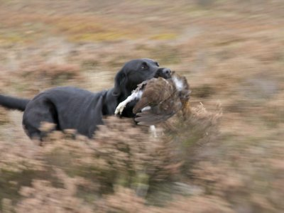 ...to hunt the ground in her efficient and speedy way.
