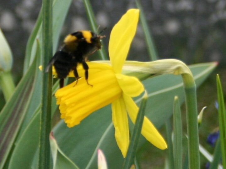 ...and the bumblebee is very busy collecting pollen and nectar.