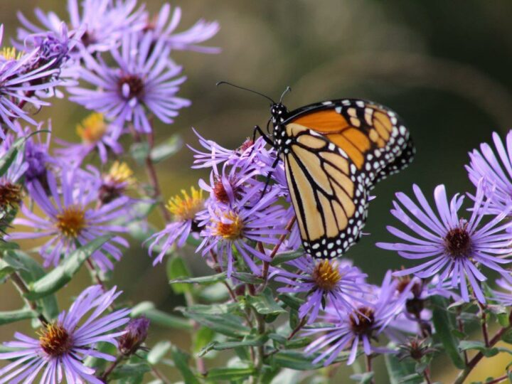 ...and Monarch butterflies...