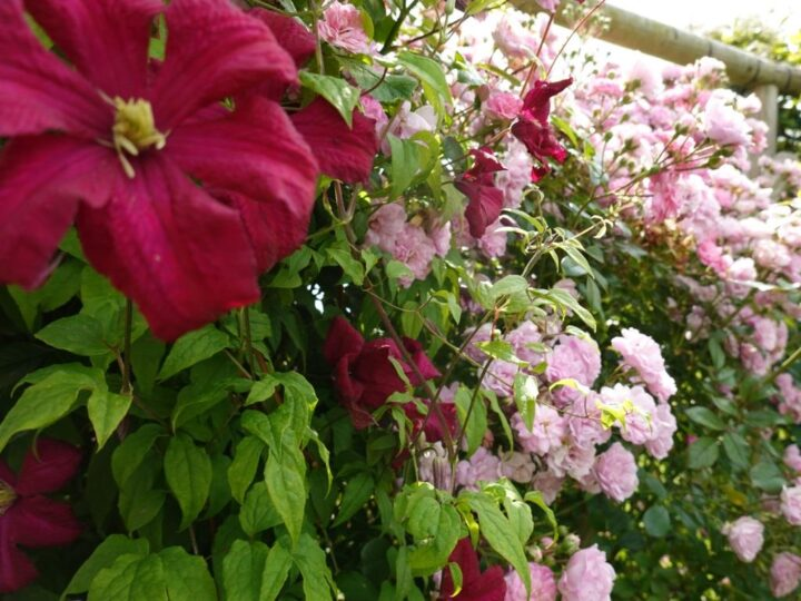 ...roses and clematis are flourishing.