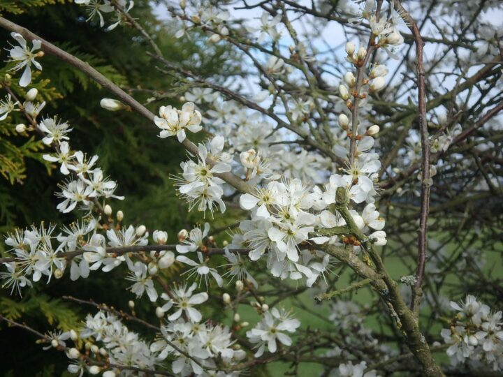 "...""CRATAEGUS"" - commonly called hawthorn or WHITETHORN!"