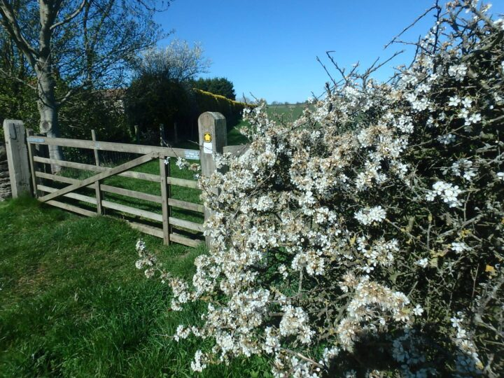 ...the blooming hawthorn:...